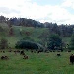 Roaming buffalo.