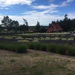 Purple Haze Lavender Farm의 사진