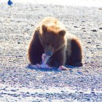 Bear on the beach digging into some fish
