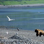 Bear fighting with gulls