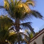 Noci di cocco appesi agli alberi