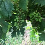 Beautiful grapes!