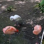 Flamingo's & a duck!