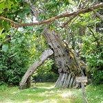 Hundred Horse Chestnut ภาพถ่าย