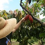 Dan showing us how to tell if cacao pods are ripe