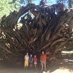 Root system of a Sequoia.