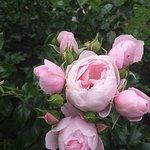 Ihana vaalea pinkki ruusu 2018