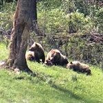 Yellowstone Wolf Tracker ภาพถ่าย