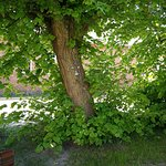 Baum mit Gesicht