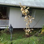 Orchids in front of my bure