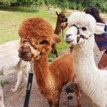 Alpacaly Ever After照片