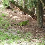 Iguana came out of shadow to greet you