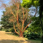 The largest strawberry tree in Britain
