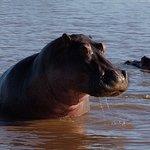 calmer hippo