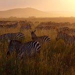 Zebras in Serengeti on first day