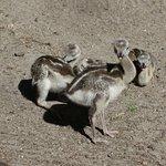 jonge struisvogels