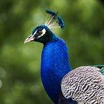 Peacock in the gardens