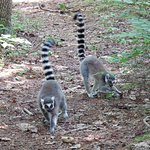 While on the walking tour you see lemurs both on the ground and in the trees.