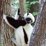 Coquerel sifaka is one of the types we saw out in the forest.
