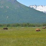 Kodiac bears feeding on the meadow