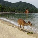 Deer ad the floating tori of Miyajima island