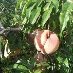 果园中的桃树