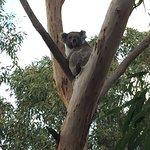 Foto de Phillip Island Nature Parks - Koala Conservation Centre