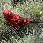 Red Lorikeet #2