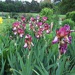 Lovely irises in the garden