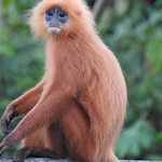 Red leaf langur