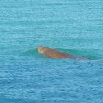 Dugong surfacing ahead of the boat