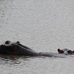 Hippos land