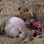 Cheetah feeding on Water Buck