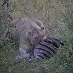 Lioness Feeding on Zebra