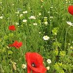 Flowers in the wild flower meadow at Helmsley