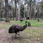 Emu - Blackbutt Reserve