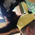 Lemurs love hats!