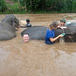 Washing the mud off the elephants in the river.