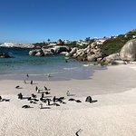 Penguins at boulder's beach