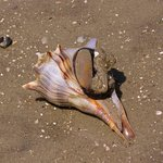 Whelk with it's sea creature coming out (on Vanishing Island)