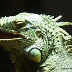 Iguane vert.