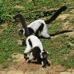 Lémurs noir et blanc.