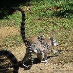 Maki catta femelle avec deux petits sur le dos.