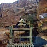 Panda is relaxing