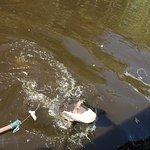 Tour guide feeding the gators