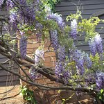 Wisteria in bloom in my garden. Caledonia, ON