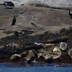 Harbor seals and cormorant