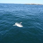Ocean sunfish near Eastern Egg Rock