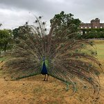 The stubborn peacock of Scone