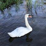 Pet swan
